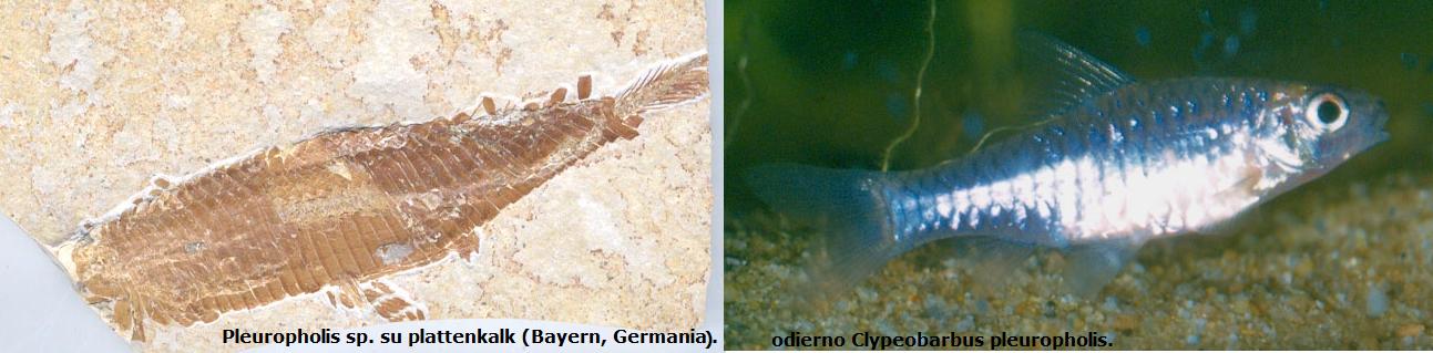pleuropholis-clypeobarbus
